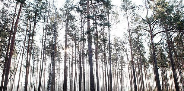 FAO to study Belarus' experience in combating decline and dieback of pine plantations